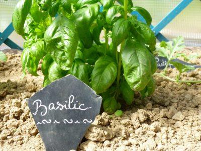 jeune plant de basilic