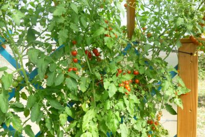 des tomates cerises